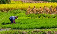 多国研究:气候变化导致大米营养流失