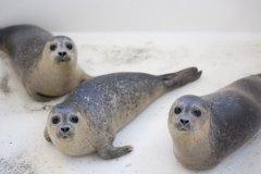 小海豹们正等待工作人员送来食物