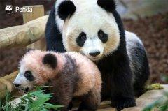 """旅法大熊猫""""圆梦""""正式公开亮相"""