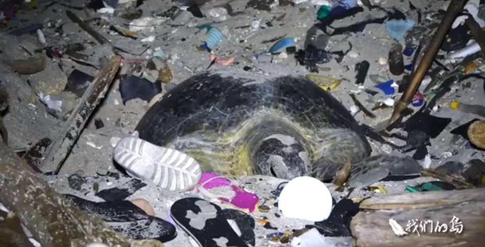 海滩铺满垃圾 海龟母亲拨开垃圾