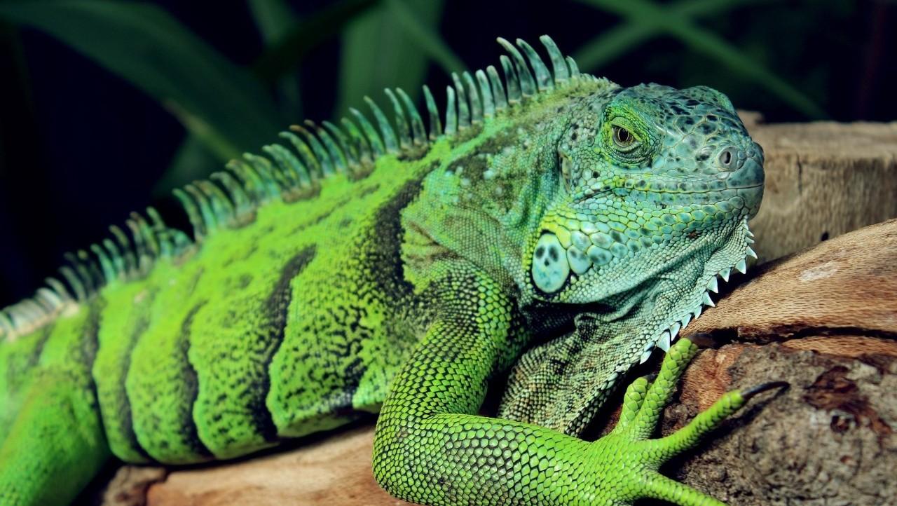 长沙一男子花3万多元购买3只珍稀蜥蜴