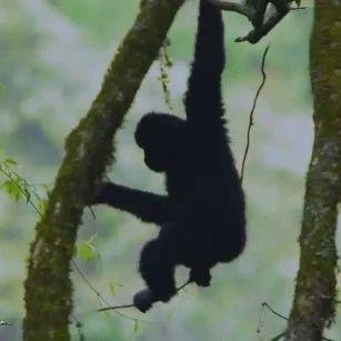 我国全面开展海南长臂猿种群保护