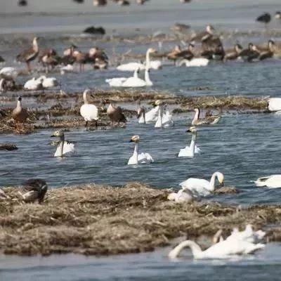 三大栖息地,这样保护天鹅