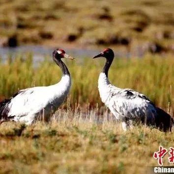 濒危指示性物种黑颈鹤在长江源头区域种