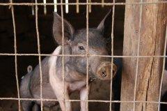 非洲猪瘟疫情后,重新审视肉食生产