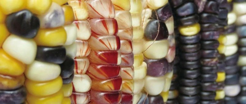 """墨西哥玉米""""无肥也壮""""之谜揭开:能"""