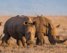 中国开放犀角与虎骨合法入药将威胁濒