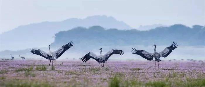 鄱阳湖何以成为70万只候鸟之家