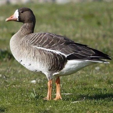 我国第二大淡水湖洞庭湖新发现4种候鸟
