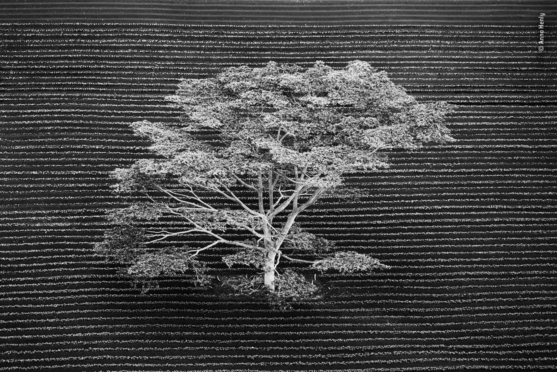 英国摄影师Anna Henly作品《与世隔绝》。照片从直升机上拍摄,一棵孤单的树伫立在夏威夷考艾岛的田园上。 ©Anna Henly