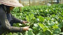 有机种植更环保?瑞典研究:较传统种植