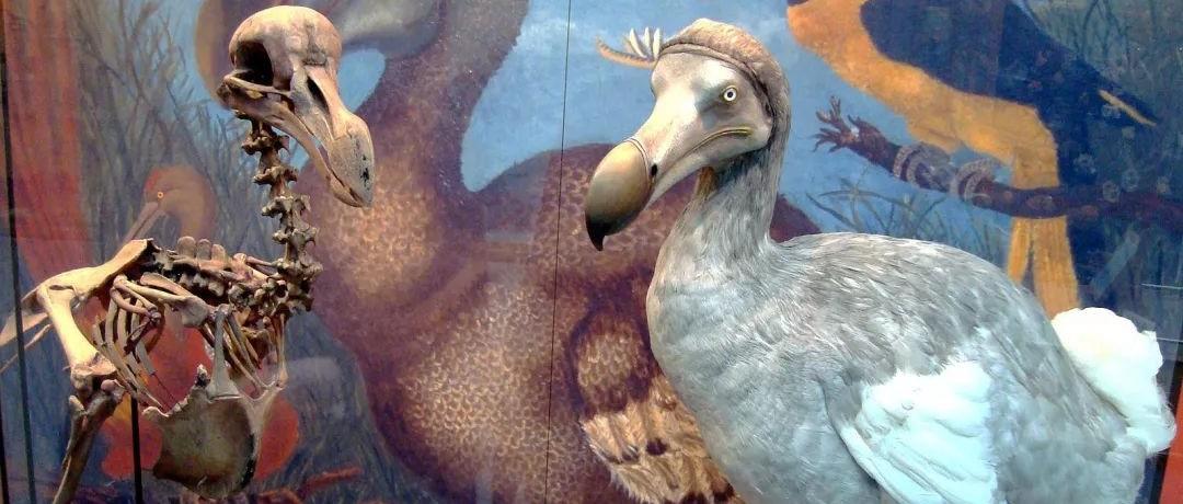 渡渡鸟不是被人吃光的,但人类一点也不冤枉