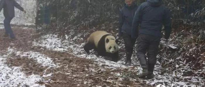 """成都大熊猫顺利""""小升初"""" 野化放归进入新阶段"""