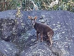 台湾长鬃山羊近来在深山大量死亡 特生中心采样化验