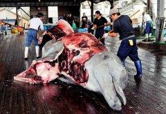 """<b>强启商业捕鲸:日本元旦前退出""""国际捕鲸委员会""""</b>"""