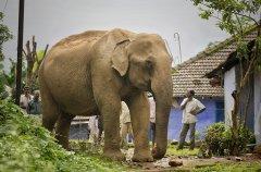 大象粪便透露情感压力值 研究:温柔以待才有人象共存的希望