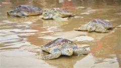 9只海龟在文昌放归大海