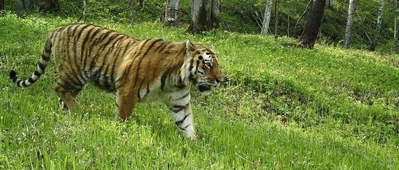 马建章:遵循自然生态规律 重视东北虎