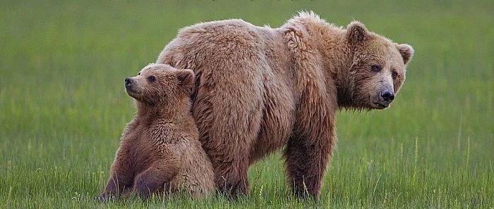 """灰熊:挑食的""""熊孩子""""不是好的护林"""