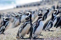 研究:海污、渔捞影响 数千母企鹅受困