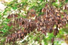 台东度冬紫斑蝶恐消失