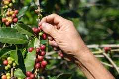 森林破坏严重 60%野生咖啡面临灭绝风险