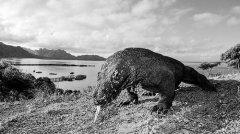 印尼为保护巨蜥或关闭国家公园 科学家对此表示异议 认