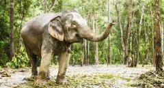 非洲大象可能因偷猎影响停止长牙