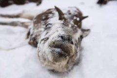 瞬间被冻成冰雕的生灵!玉树雪灾最新