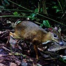 """像兔又像鼠,近看却是鹿,""""雨林精灵"""