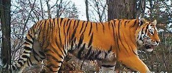 东北虎豹国家公园强化试点区反盗猎行