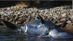 意大利海滩惊现死亡抹香鲸,腹中竟有2