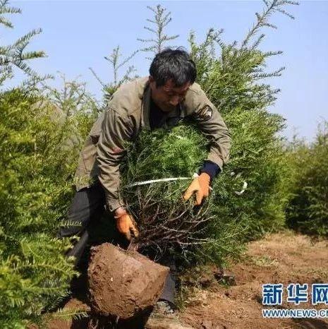 苗木栽植 绿色富民