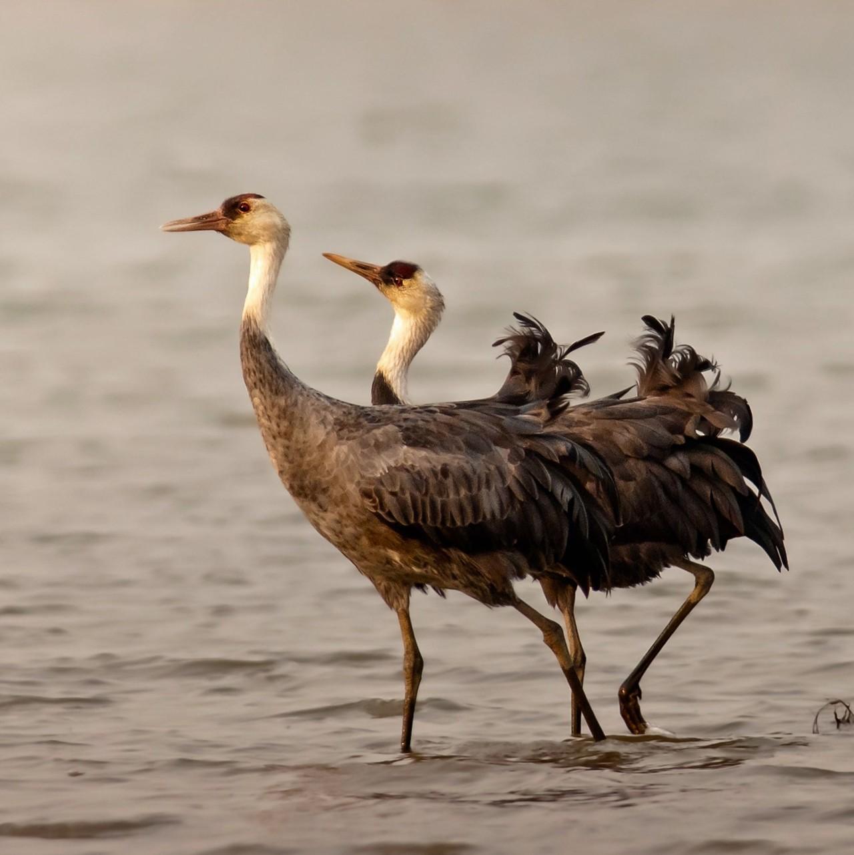 """吉林九台湿地来了2000多只""""白头大鸟"""
