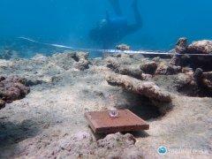 气候变化影响大堡礁韧性 研究:白化后新生珊瑚数量减8