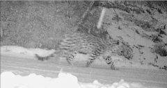 黑龙江森工穆棱林区拍到东北豹影像