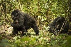 """粪便检测濒危大猩猩""""压力指数"""" 研究证实变暖、多雨"""