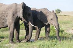 联合国:偷猎继续威胁非洲象的长期生存 非洲一半大象