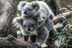 """澳洲国宝无尾熊剩不到8万只 面临""""功能性灭绝"""""""