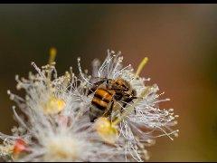 世界蜜蜂日:联合国彰显保护大自然甜蜜