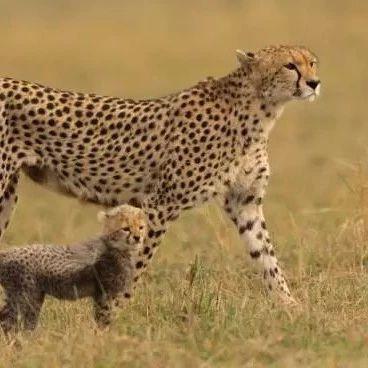 山西和顺:打造良好生态让华北豹种群