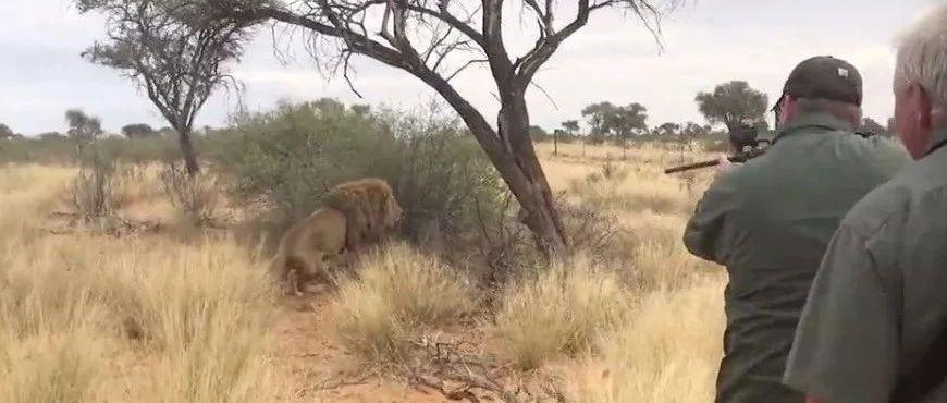 两天内50多只狮子被残忍的猎杀――南非狮子养殖场的真