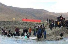 今年青海省增殖放流1200万尾湟鱼