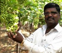 遭受旱灾的印度人民 如何靠种植葡萄脱困