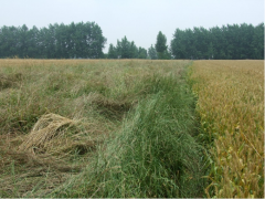 英国林肯郡收割野草做生物燃料用于出