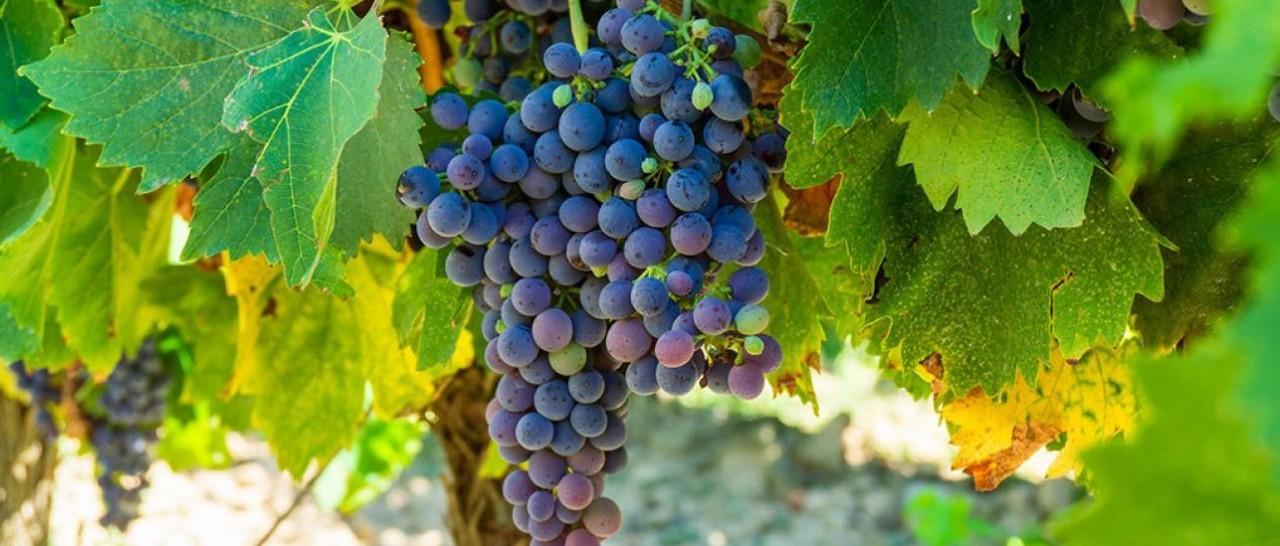 """""""污水葡萄""""也能酿造高品质红酒吗?"""