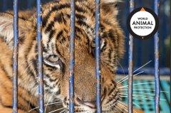 全球中药供应链调查:人工养殖大猫达上万只 多受畸形