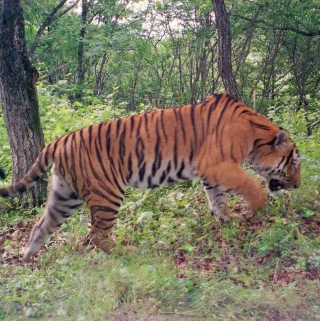 我国初步建成东北虎豹科研和监测体系 野生东北虎豹种