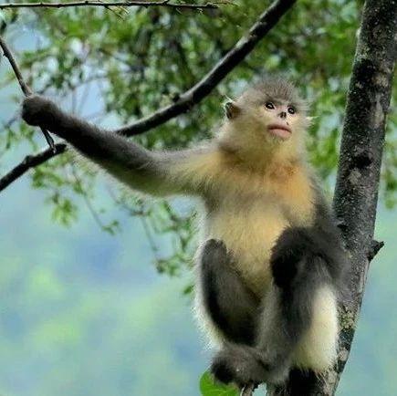 """13家机构共建""""滇金丝猴全境保护网络"""
