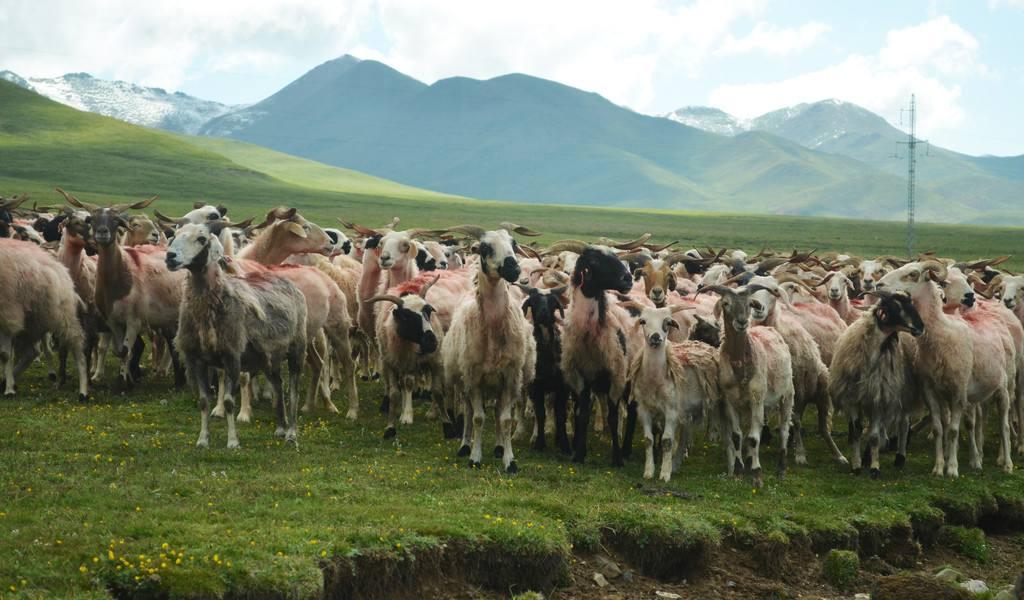 从祁连山间牧羊人到生态管护员